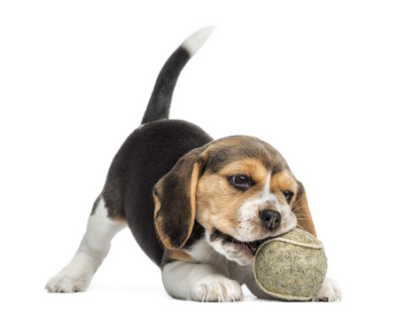 Front view of a Beagle puppy playing with a tennis ball, isolated on white