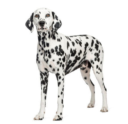 Dalmatian standing, isolated on white Stock fotó
