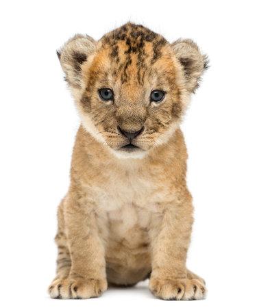 カブのライオン、4 週古い、白で隔離されます。 写真素材