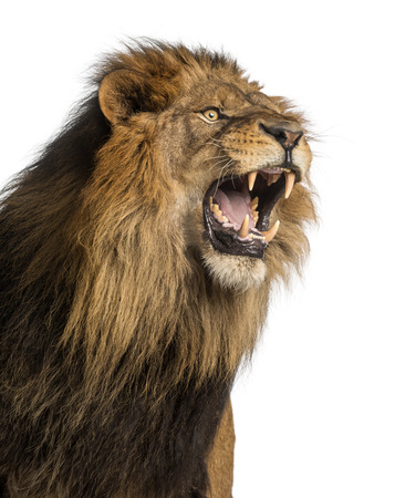 Close-up di un ruggente Leone, Panthera Leo, 10 anni, isolato su bianco Archivio Fotografico - 24155942