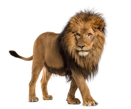 サイドビューのライオンの歩行、白で隔離されるパンテーラ レオ 10 歳