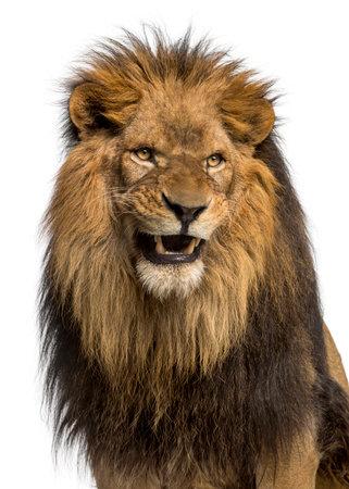 Close-up van een leeuw brullen, Panthera Leo, 10 jaar oud, geïsoleerd op wit Stockfoto