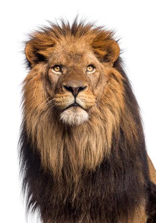 探しているライオンのクローズ アップ、白で隔離されるパンテーラ レオ 10 歳 写真素材