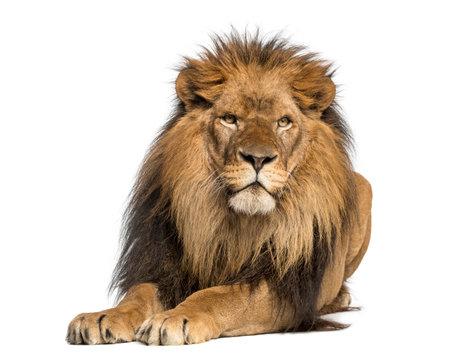 ライオンに横たわってに直面している、パンテーラ レオ、10 歳で、白で隔離されます。 写真素材