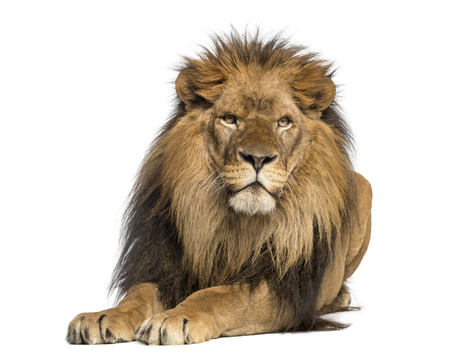 Leeuw liggend, geconfronteerd, Panthera Leo, 10 jaar oud, geïsoleerd op wit Stockfoto