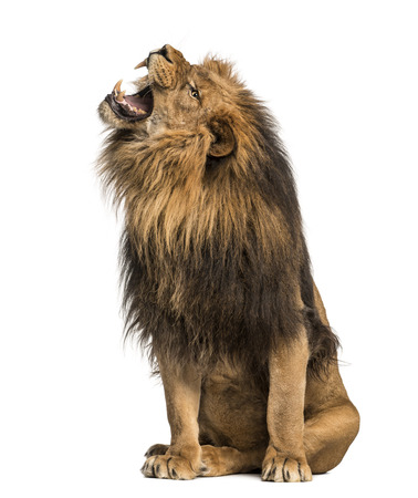 Lion roaring, sitting, Panthera Leo, 10 years old, isolated on white Stock Photo