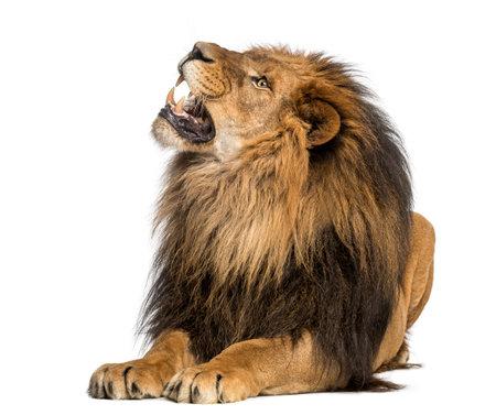 León acostado, rugiente, Panthera Leo, 10 años de edad, aislado en blanco Foto de archivo - 24155954