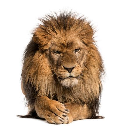 Vooraanzicht van een leeuw liegen, het oversteken van poten, Panthera Leo, 10 jaar oud, geïsoleerd op wit