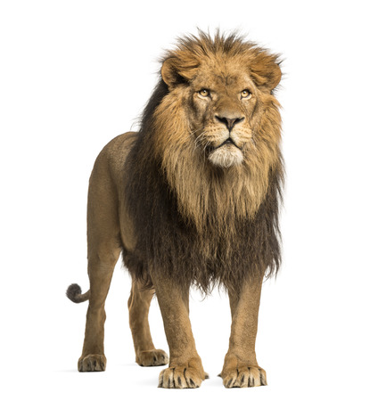 白で隔離されるライオンが立って、パンテーラ レオ 10 歳 写真素材