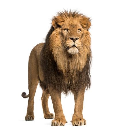 Permanente leeuw, Panthera Leo, 10 jaar oud, op wit wordt geïsoleerd Stockfoto