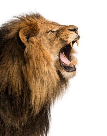 轟音、白で隔離されるライオンのクローズ アップ 写真素材