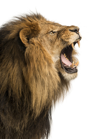 Close-up of a Lion roaring, isolated on white Imagens - 24155959