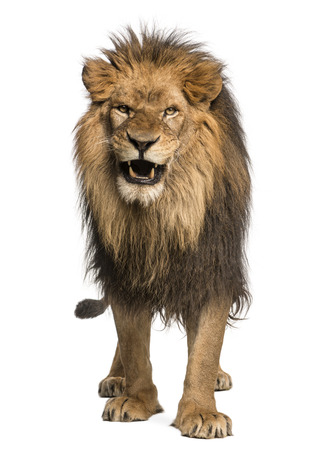 Front view of a Lion roaring, standing, Panthera Leo, 10 years old, isolated on white