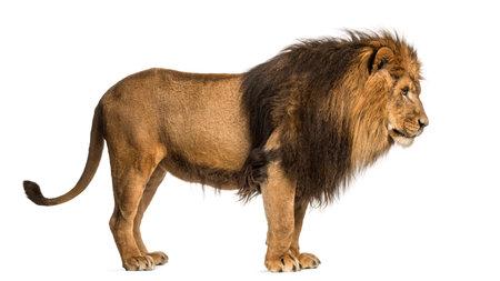 Zijaanzicht van een leeuw staande, Panthera Leo, 10 jaar oud, geïsoleerd op wit Stockfoto