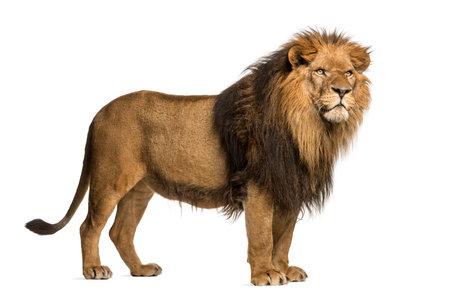 Zijaanzicht van een staande leeuw, Panthera Leo, 10 jaar oud, geïsoleerd op wit