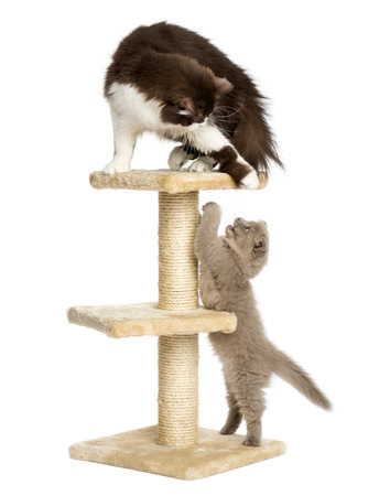Katzen spielen auf einem Kratzbaum, isoliert auf weiß