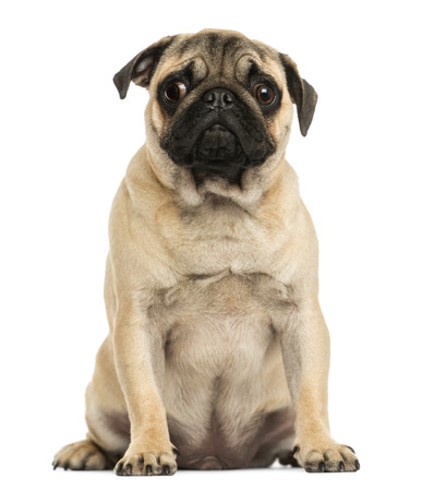 Front view of a Pug puppy sitting, 6 months old, isolated on white Zdjęcie Seryjne