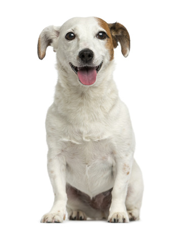 Front view of a Jack Russell Terrier sitting, panting, 6 years old, isolated on white