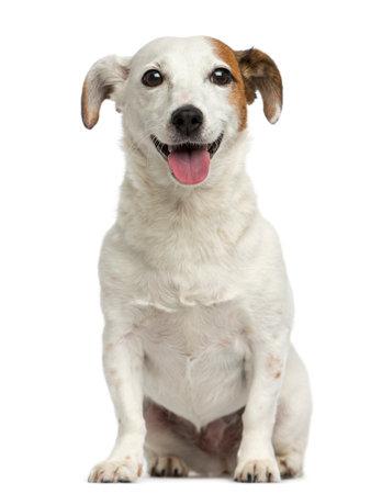 Frontansicht des ein Jack-Russell-Terrier sitzen, keuchend, 6 Jahre alt, isoliert auf weiß Standard-Bild