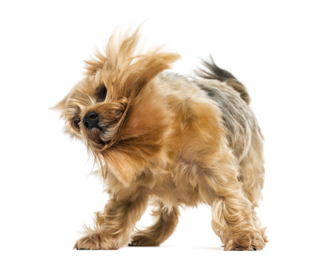 Yorkshire terrier standing, shaking, 6 years old, isolated on white