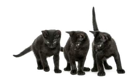 Three Black kittens standing, looking down, 2 months old, isolated on white Stock Photo - 25144565