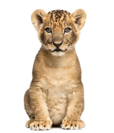 Lionceau assis, en regardant la caméra, 7 semaines, isolé sur blanc