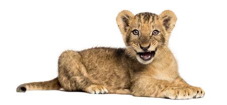横になっているライオンのサイドビュー、うなり声を上げて、10 週古い、白で隔離