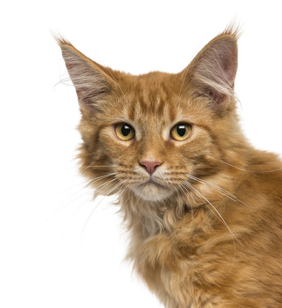 Close-up of a Maine Coon kitten looking at the camera, 4 months old, isolated on white