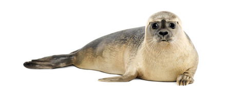 Common seal lying, looking at the camera, Phoca vitulina, 8 months old, isolated on white Reklamní fotografie