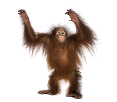 Young Bornean orangutan standing, reaching up, Pongo pygmaeus, 18 months old, isolated on white Stock fotó