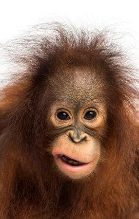 Close-up van een jonge Borneose orang-oetan maken van een gezicht, kijkend naar de camera, Pongo pygmaeus, 18 maanden oud, geïsoleerd op wit