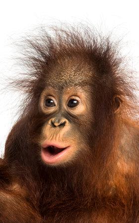 화이트 절연 18 개월 놀라, Pongo pygmaeus을 찾고 젊은 보르네오 오랑우탄의 근접