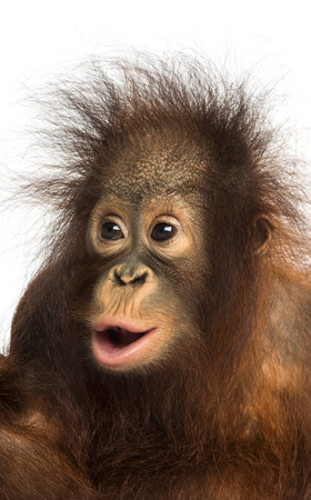 Close-up of a young Bornean orangutan looking amazed, Pongo pygmaeus, 18 months old, isolated on white Stock Photo