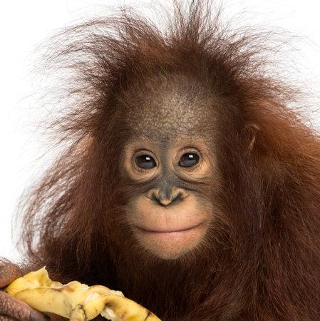 Close-up d'un jeune orang-outan de Bornéo manger une banane, en regardant la caméra, Pongo pygmaeus, âgé de 18 mois, isolé sur blanc