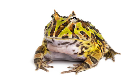 Argentine Horned Frog, Ceratophrys ornata, isolated on white Reklamní fotografie