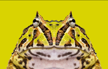 Close-up of an Argentine Horned Frog facing, Ceratophrys ornata on a green background