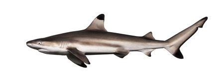Side view of a Blacktip reef shark, Carcharhinus melanopterus, isolated on white Imagens