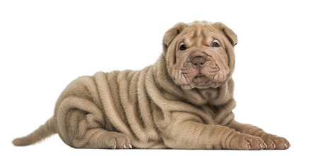 Side view of a Shar Pei puppy lying, looking at the camera, isolated on white Stock Photo