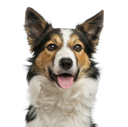 Close-up of a Border collie panting, facing, isolated on white Фото со стока