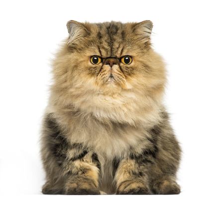 Front view of a grumpy Persian cat facing, looking at the camera, isolated on white