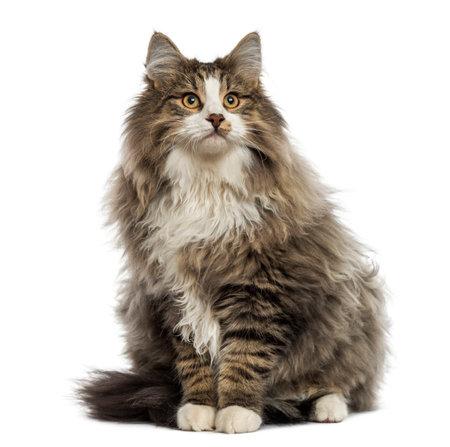 ノルウェージャン フォレスト猫に座って、見上げて、白で隔離されます。