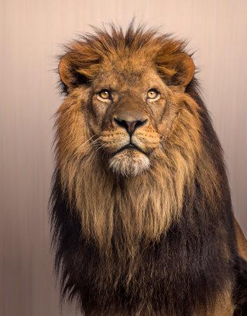 Leeuw opzoeken, Panthera Leo op bruine achtergrond Stockfoto