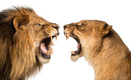 Primer plano de un rugiente león y leona el uno al otro
