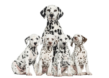 Mother Dalmatian sitting behind her puppies Stock Photo