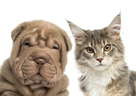 Close-up of a Maine coon kitten and Shar Pei puppy looking at the camera  Stock Photo