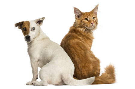 Rear view of a Maine Coon kitten and a Jack russell   looking