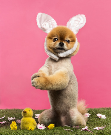 Groomed Pomeranian dog standing in grass on hind legs and wearing a rabbit ears headband in front of a pink background