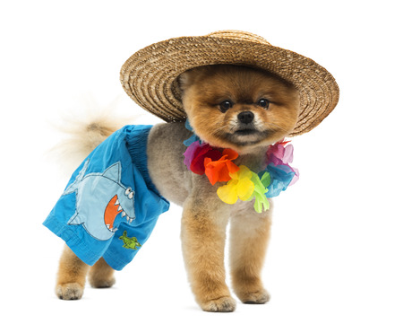 Pomerania perro llevaba corto, lei hawaiano, sombrero