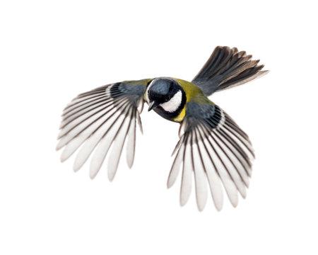 great tit flying - Parus major