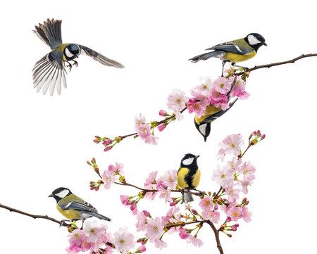 흰색에 고립 된 꽃 지점, 주요 Parus에 자리 잡고 큰 가슴의 그룹,